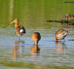 Blackwits in the River Howmore