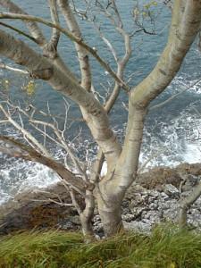Seaside Alder