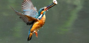 A Common Kingfisher seen at Howmore