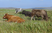 Cattle in Howmore